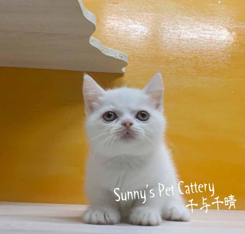 千晴寵物坊/純白色 小步舞曲 短腿貓