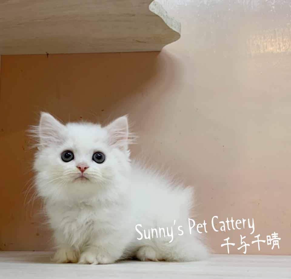 千晴寵物坊/純白色 小步舞曲短腿貓
