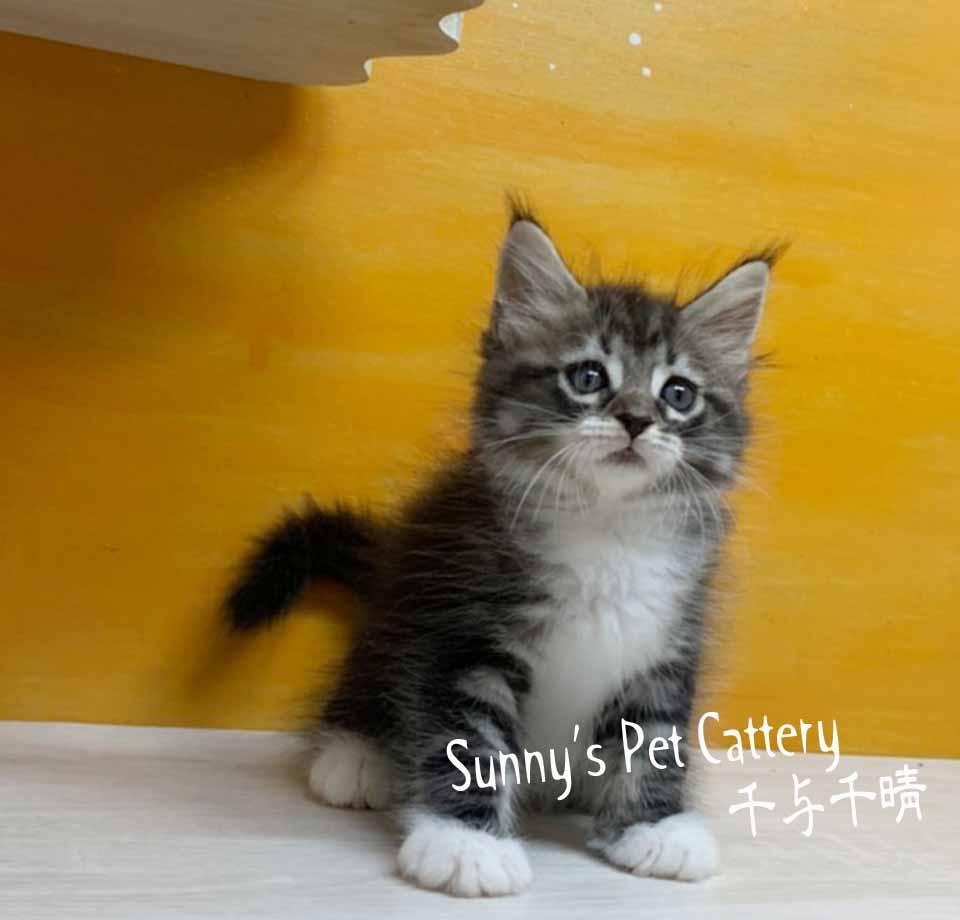 千晴寵物坊/棕虎斑白緬因庫恩貓