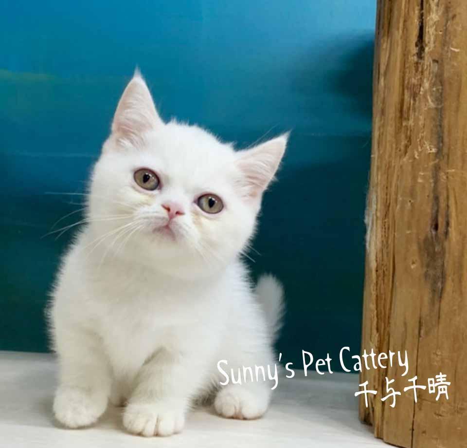 千晴寵物坊/純白小步舞曲短腿貓
