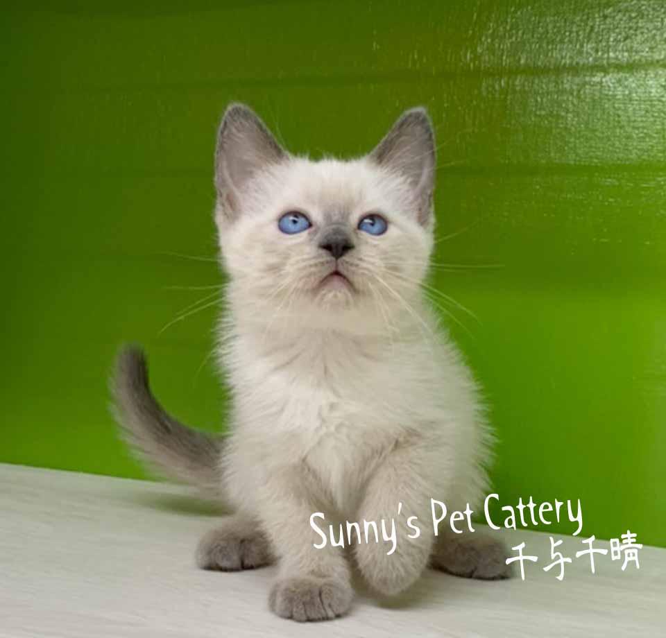 千晴寵物坊/藍重點色 布偶貓