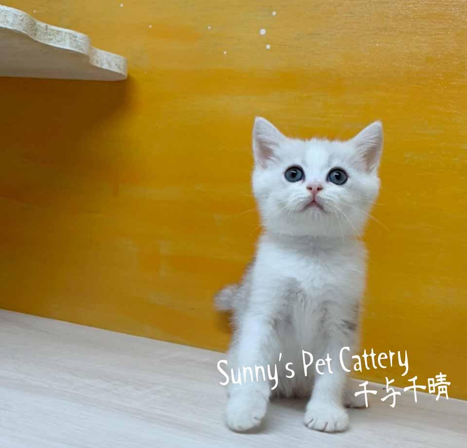 千晴寵物坊/銀漸層賓士加白 英國短毛貓