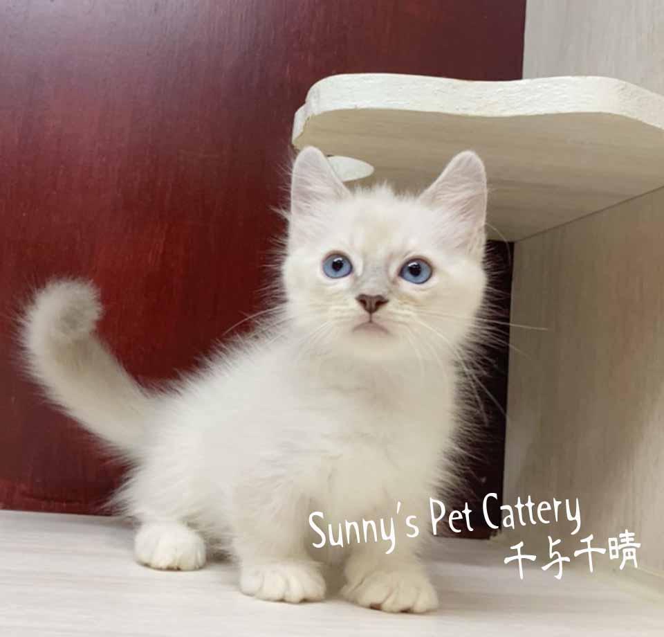 千晴寵物坊/藍山貓紋手套色 曼赤肯
