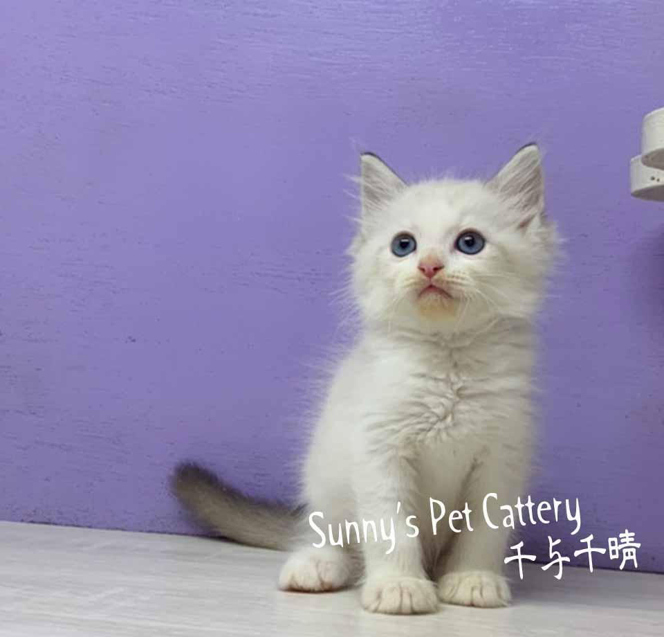 千晴寵物坊/海豹山貓雙色布偶貓