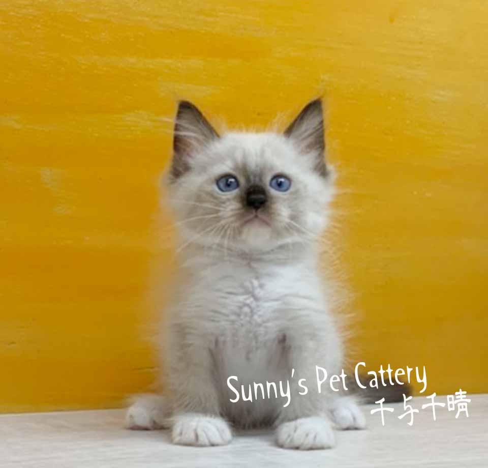 千晴寵物坊/海豹重點色小手套布偶貓