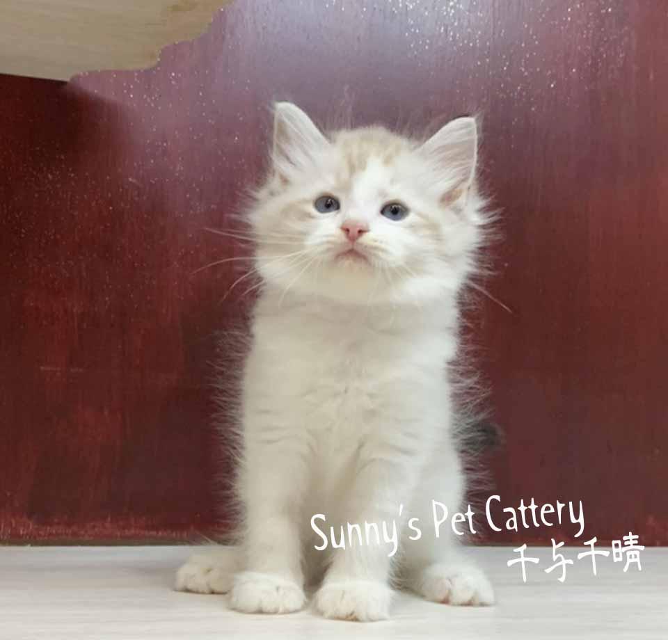 千晴寵物坊/海豹山貓雙色 布偶貓
