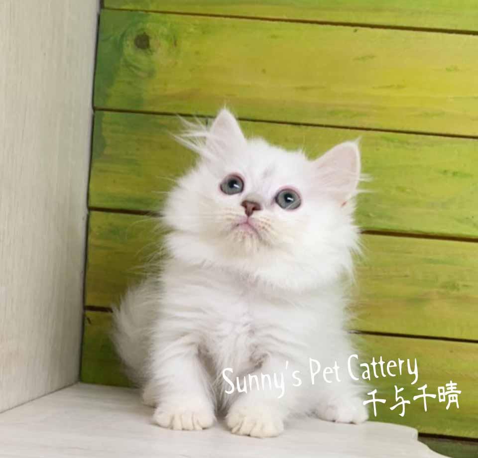 千晴寵物坊/藍重點色小步舞曲矮腳貓