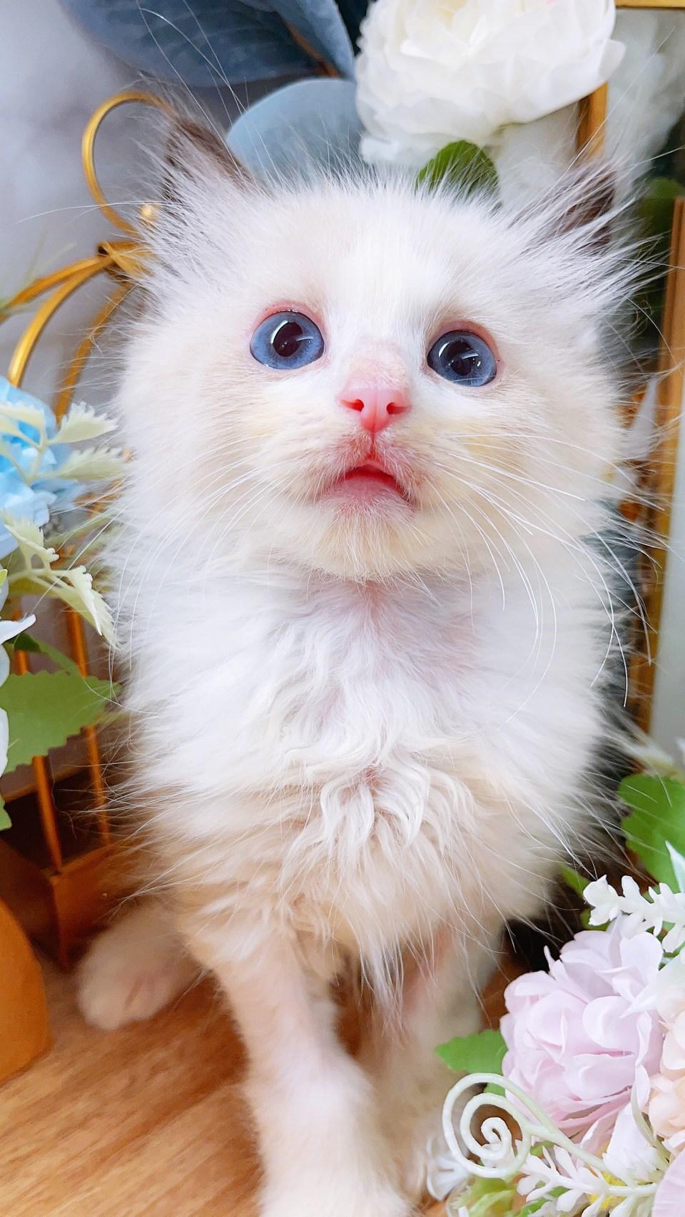 月亮糖糖喵樂園/正賓士海豹雙色布偶貓