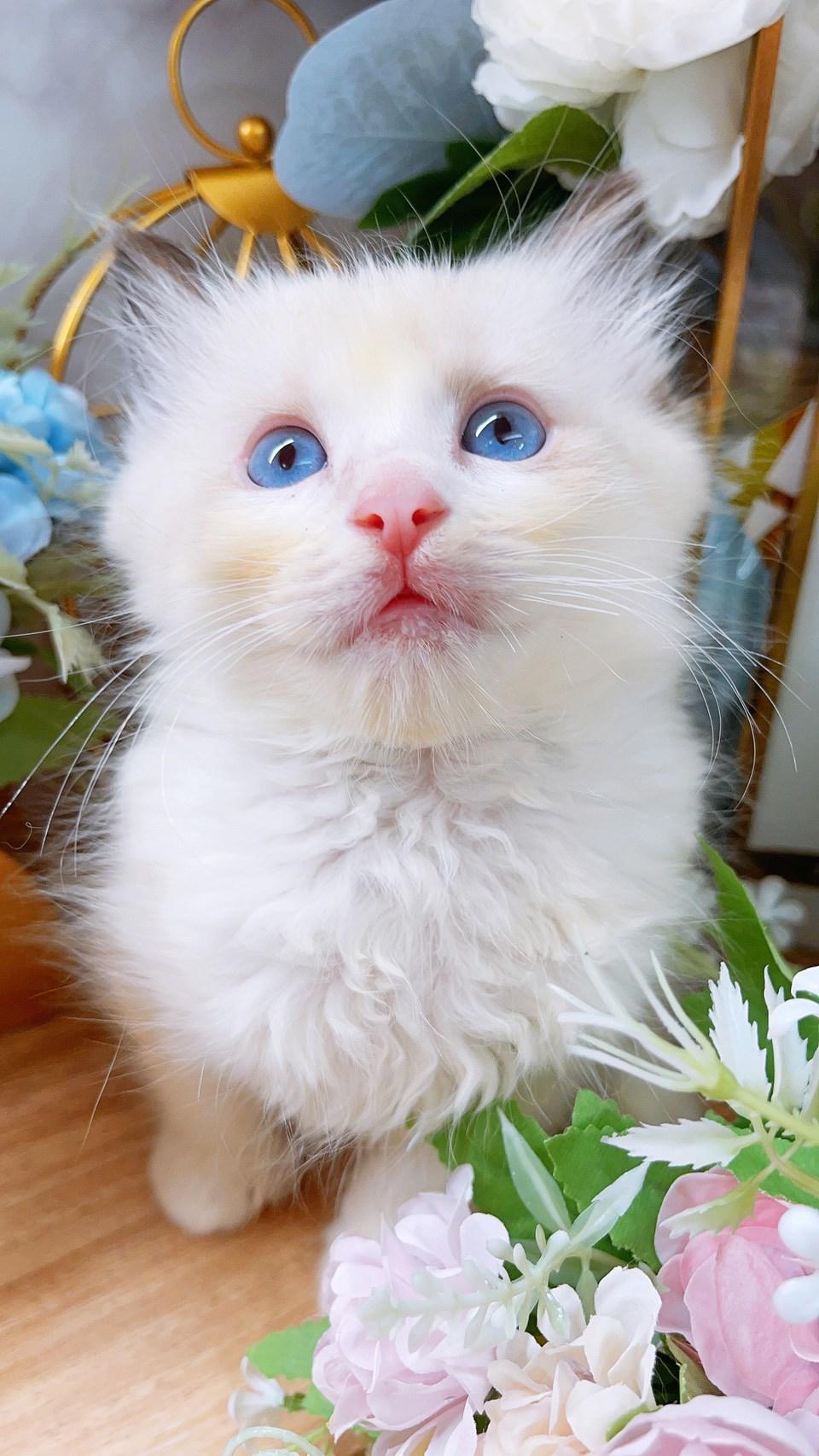 月亮糖糖喵樂園/海豹雙色布偶貓弟弟
