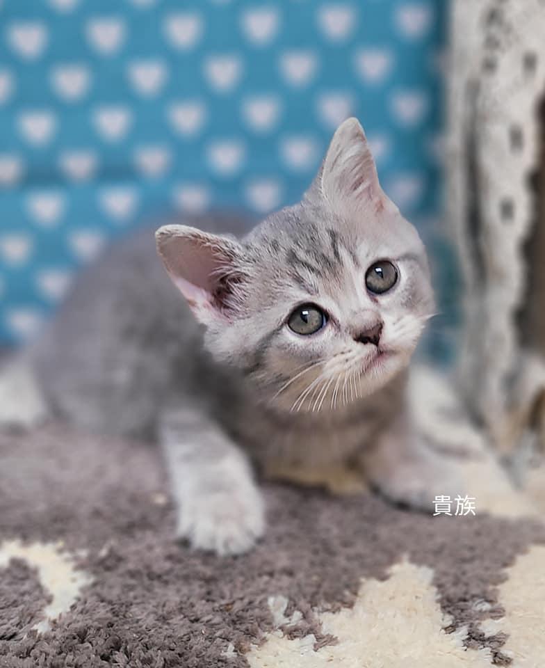 貴族寵物坊/乳藍色虎斑英短大頭男孩