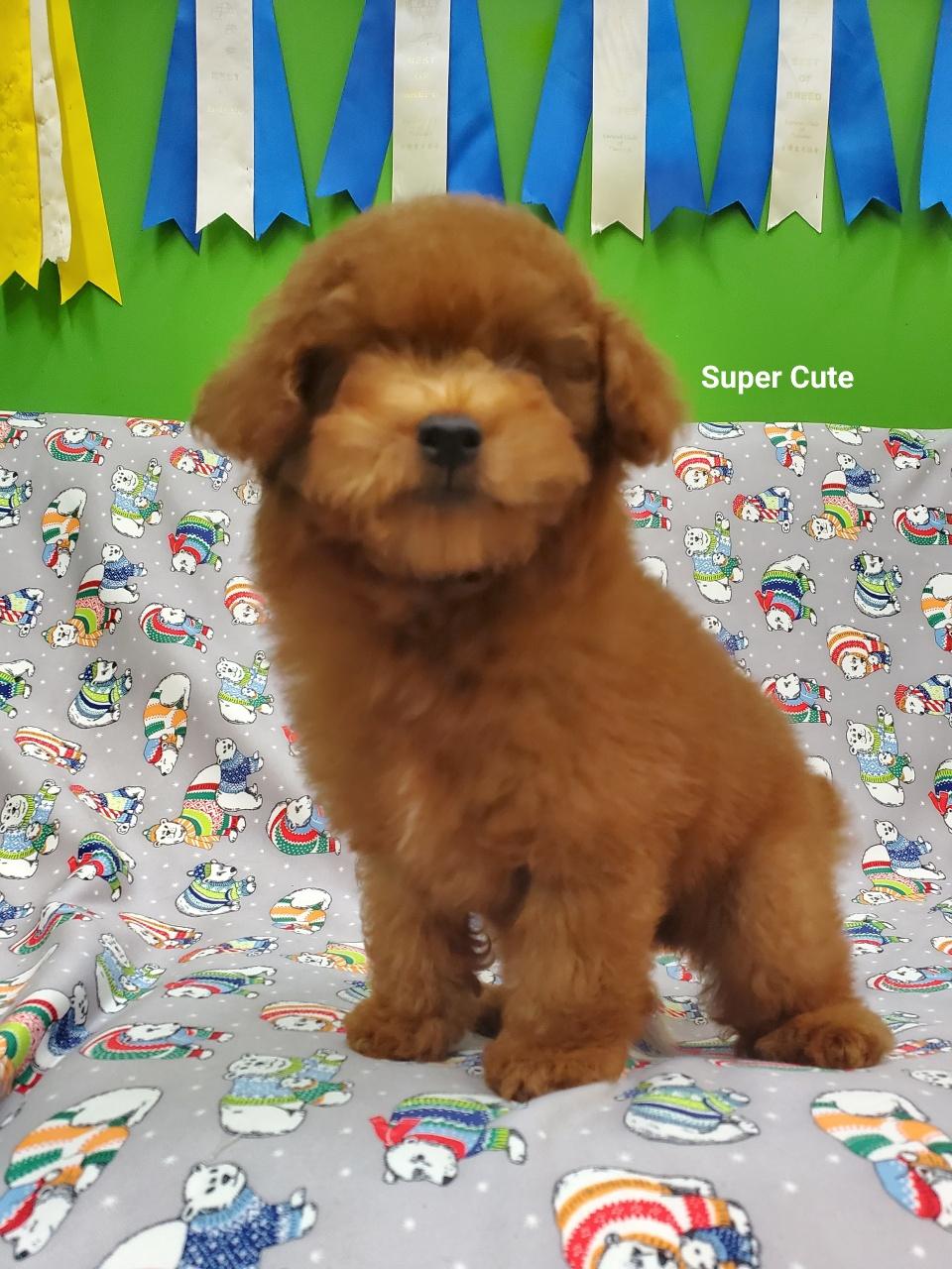 超可愛名犬社/超可愛的紅貴賓
