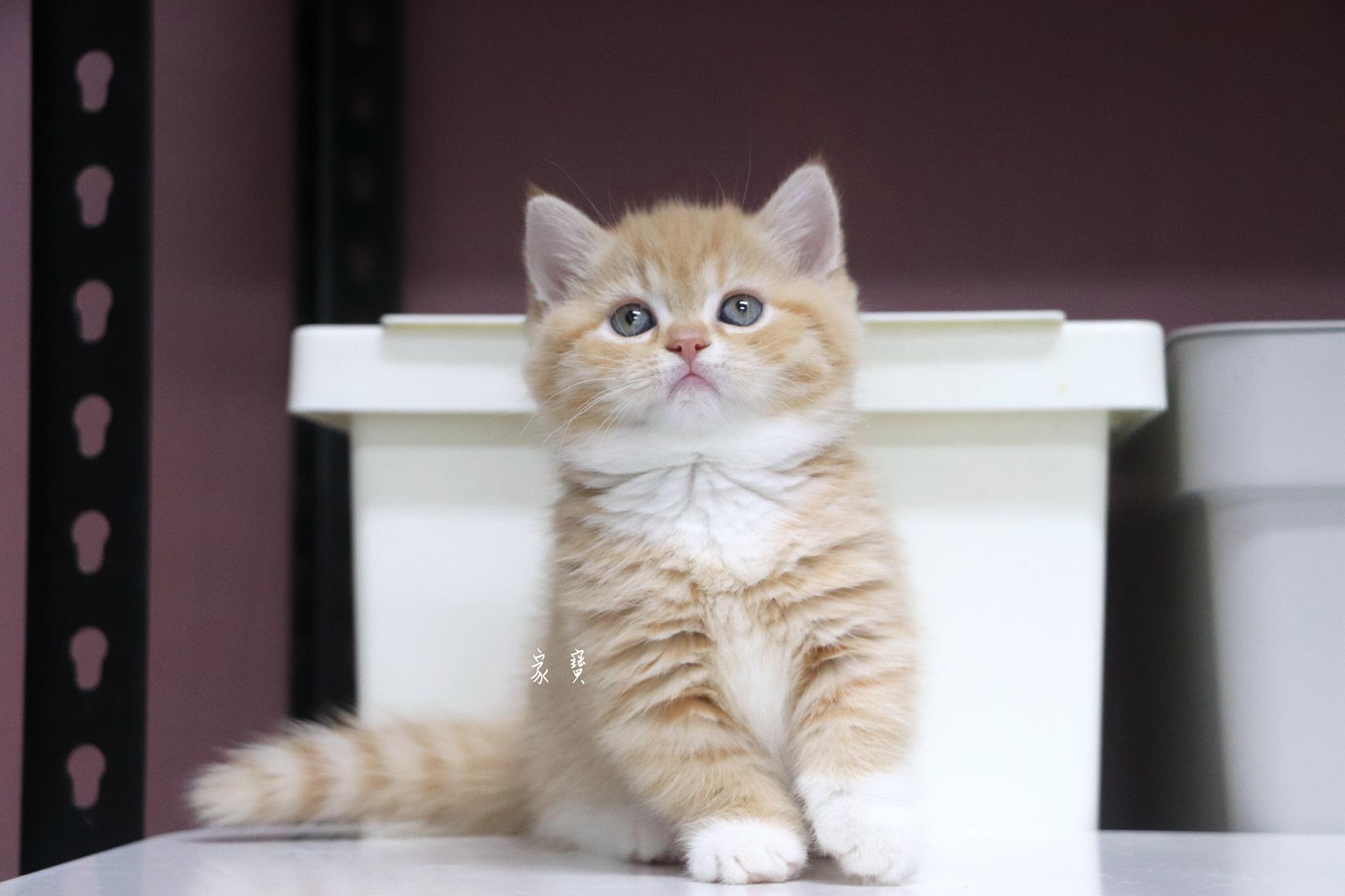 家寶寵物/橘帶白襪曼赤肯女孩