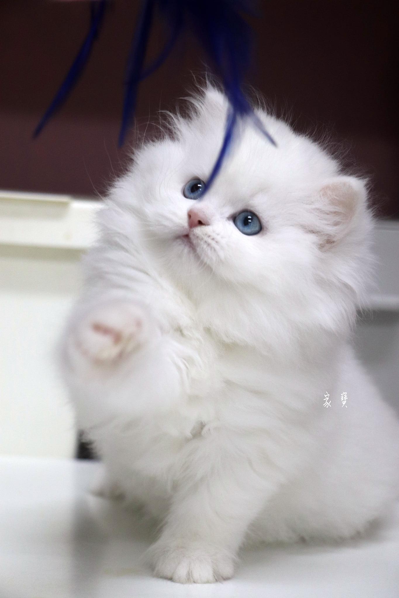 家寶寵物/純白波斯貓女孩
