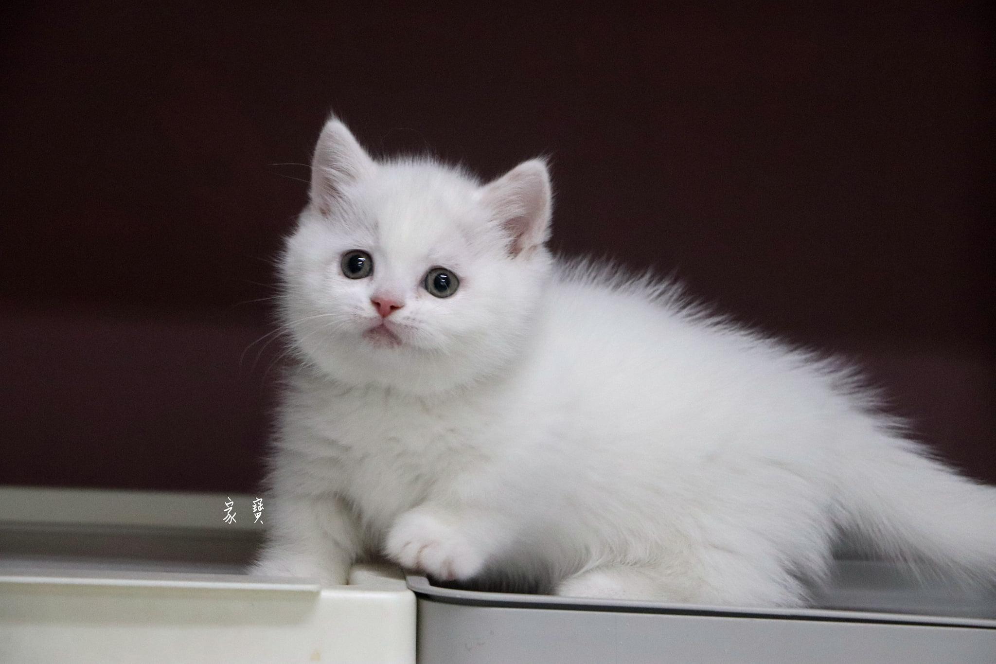 家寶寵物/白色曼赤肯短腿貓男孩