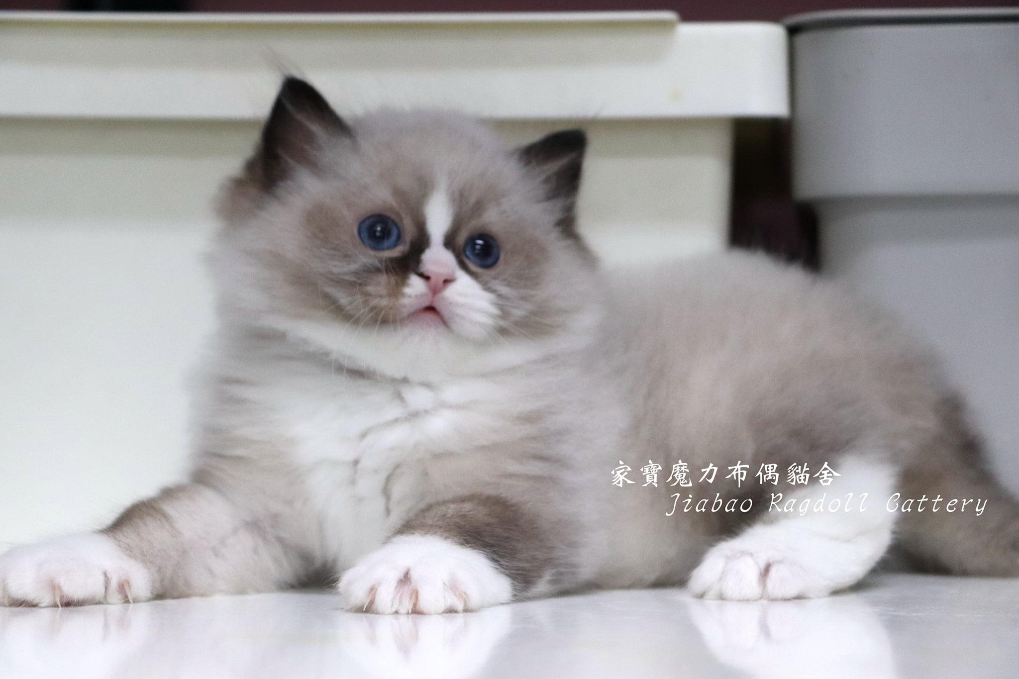 家寶寵物/海豹雙色布偶貓男生