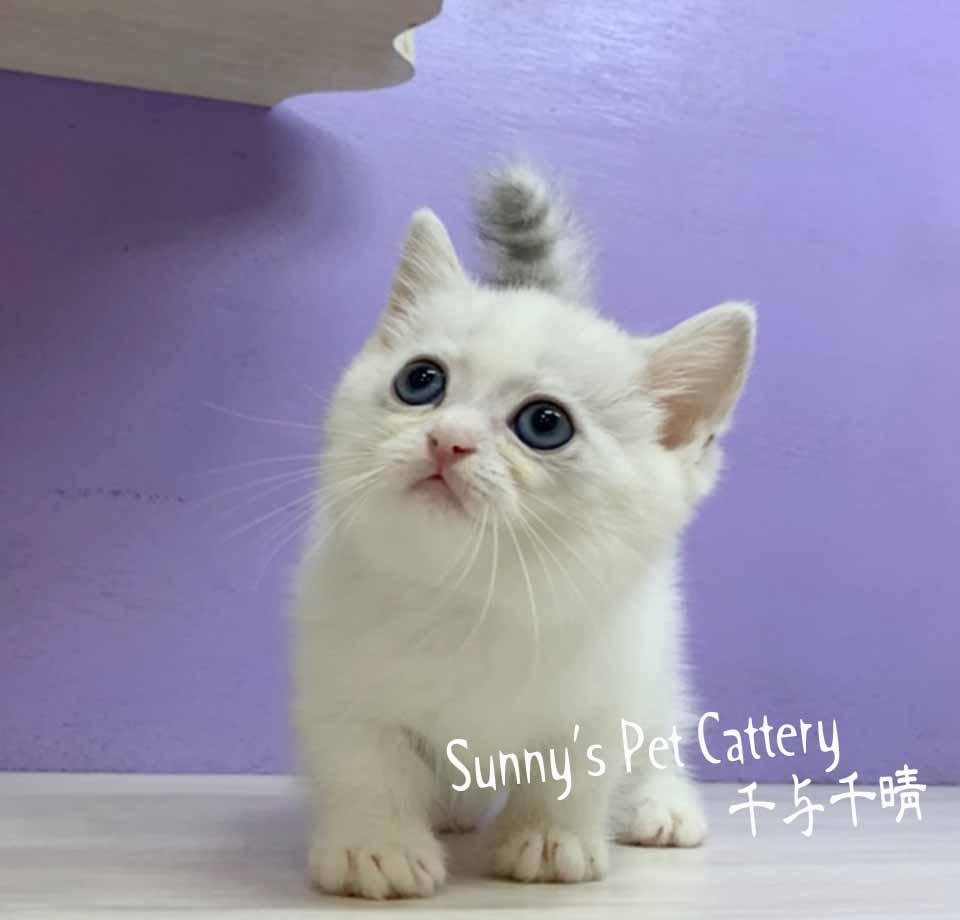千晴寵物坊/銀漸層雙色 小步舞曲 短腿貓