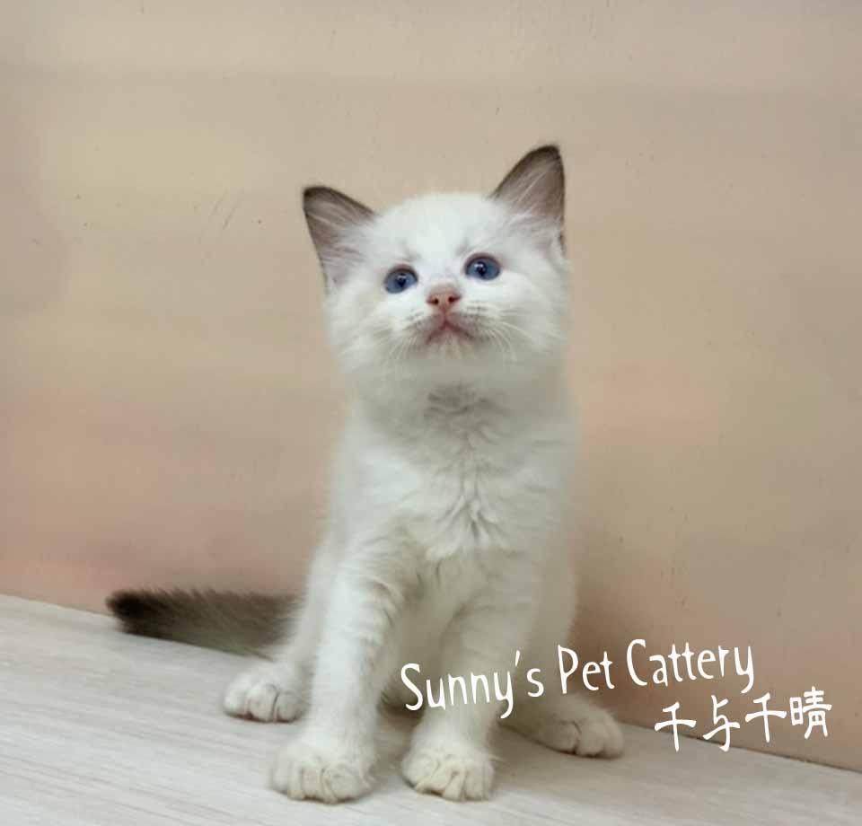 千晴寵物坊/海豹雙色 藍眼 布偶貓