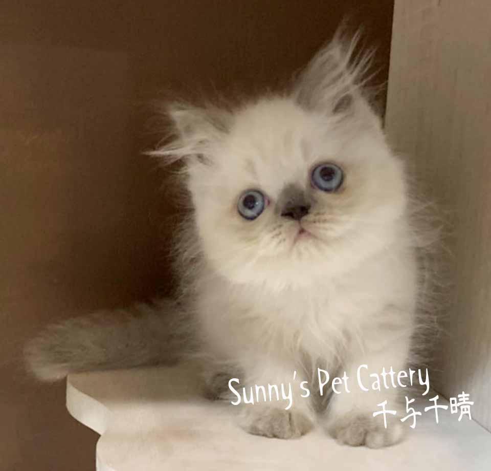 千晴寵物坊/藍端子重點色喜馬拉雅貓