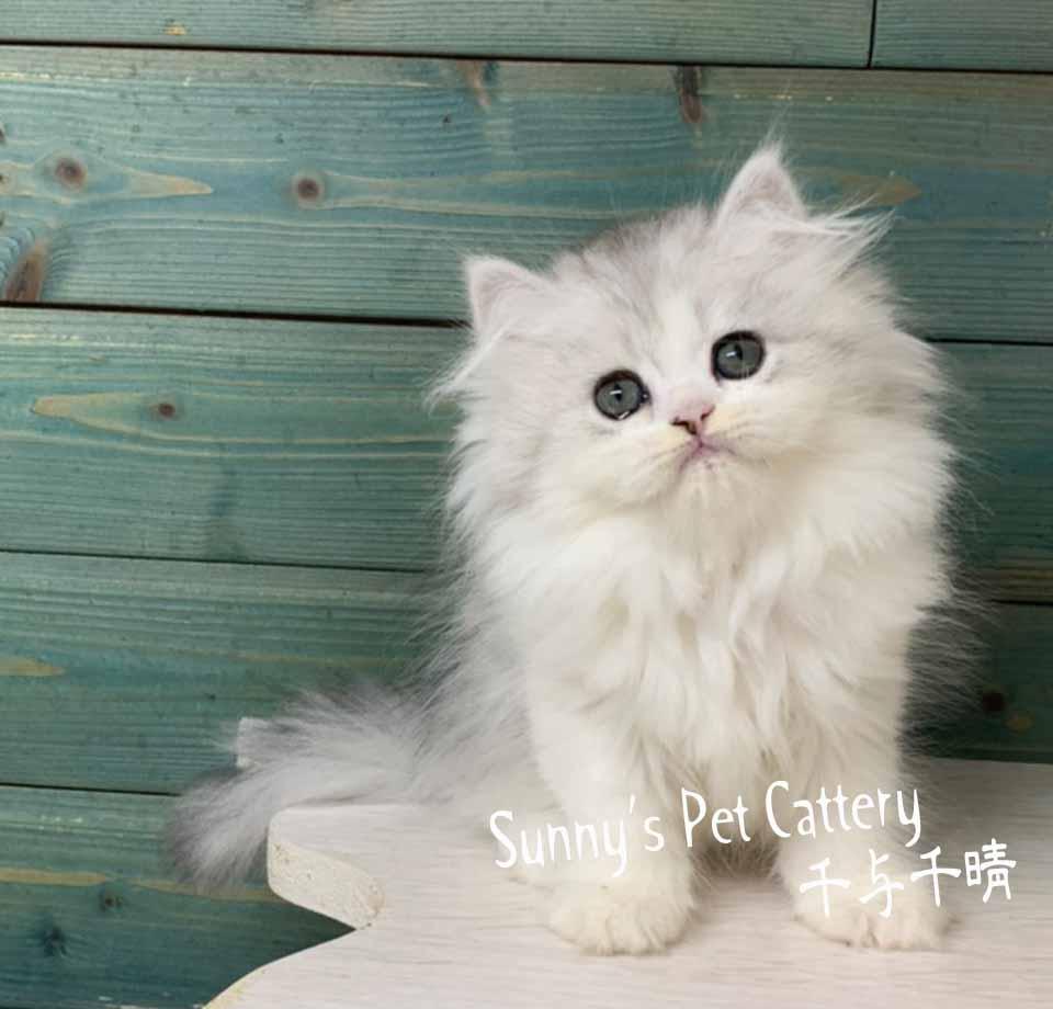 千晴寵物坊/銀漸層雙色 英國長毛貓
