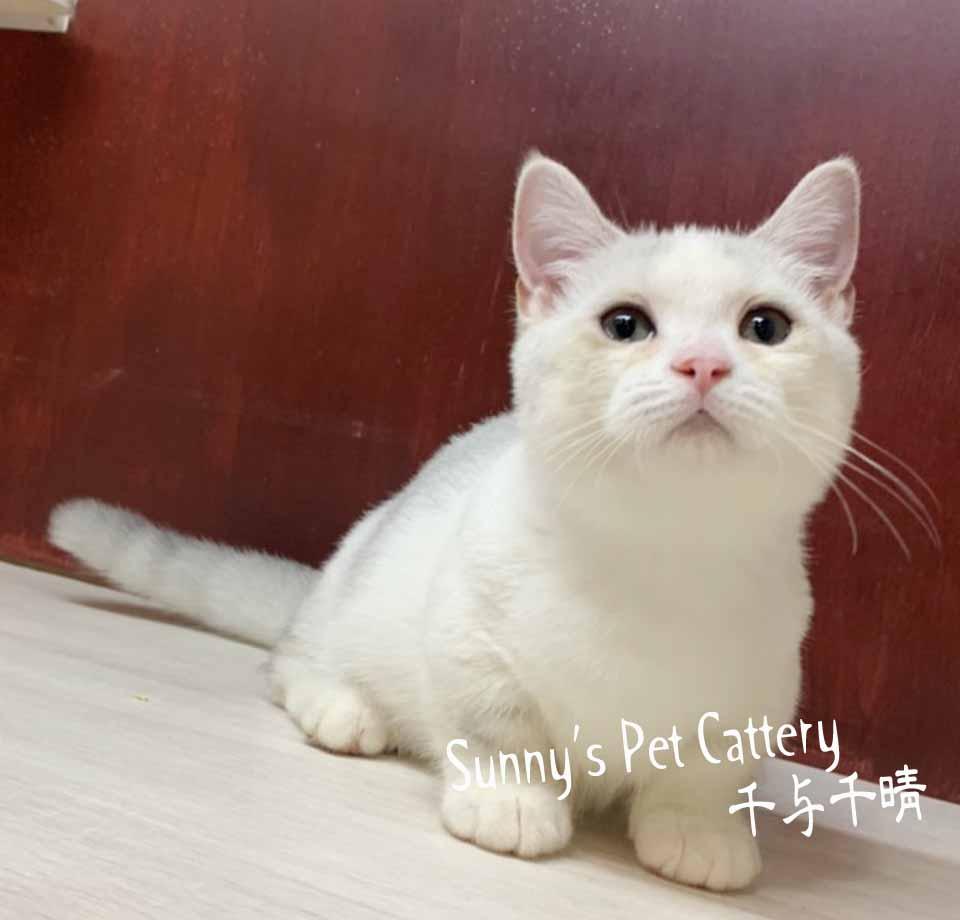 千晴寵物坊/銀漸層賓士加白 曼赤肯短腿貓