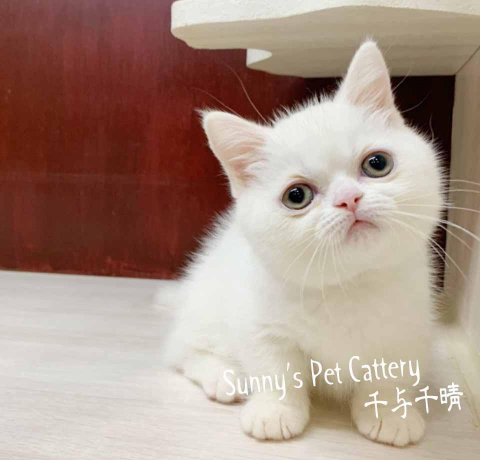 千晴寵物坊/純白色小步舞曲短腿貓