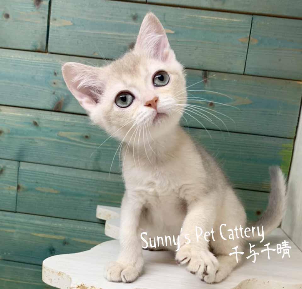 千晴寵物坊/淡藍金AY11特殊色英國短毛貓