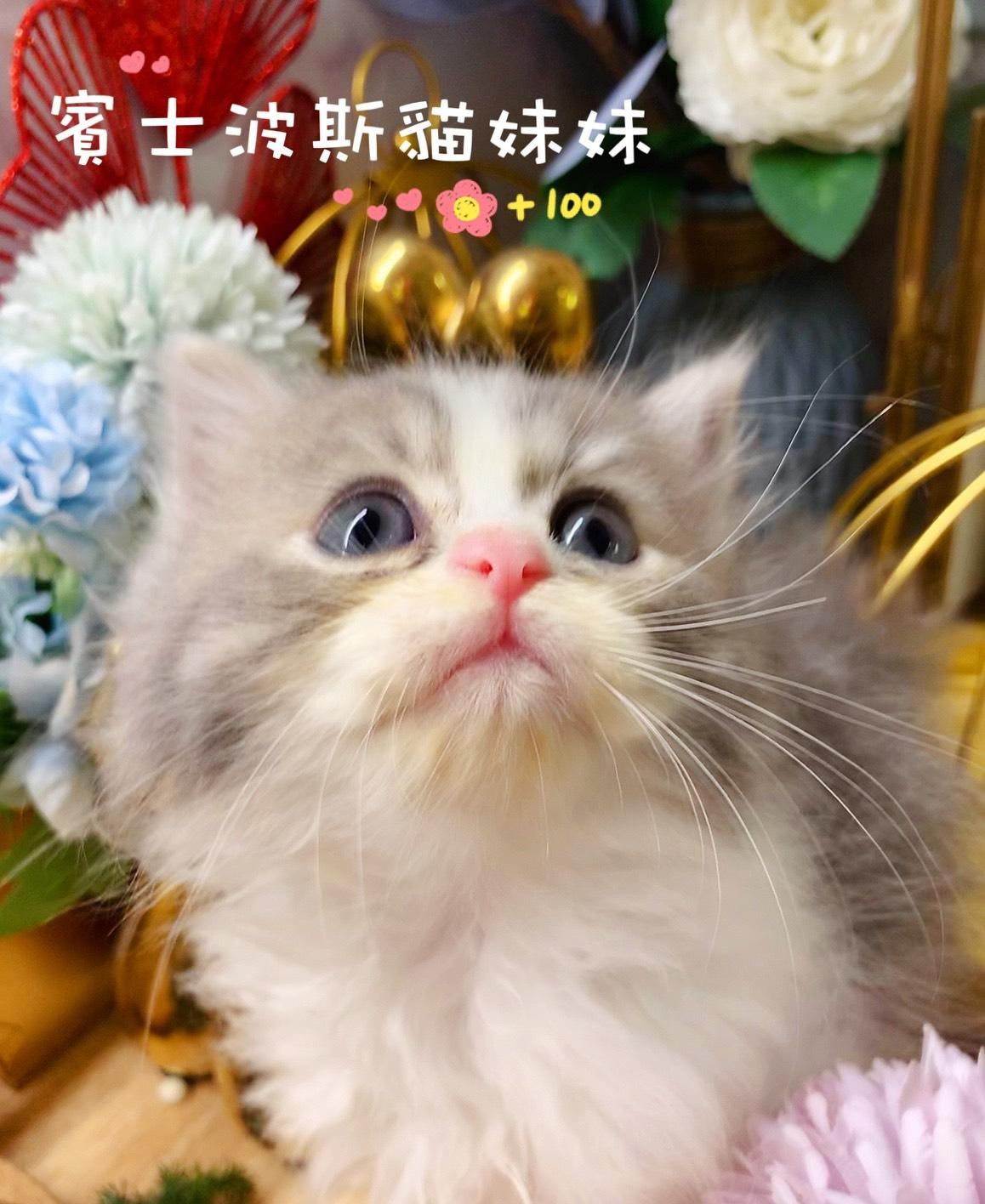 月亮糖糖喵樂園/銀色賓士金吉拉波斯貓