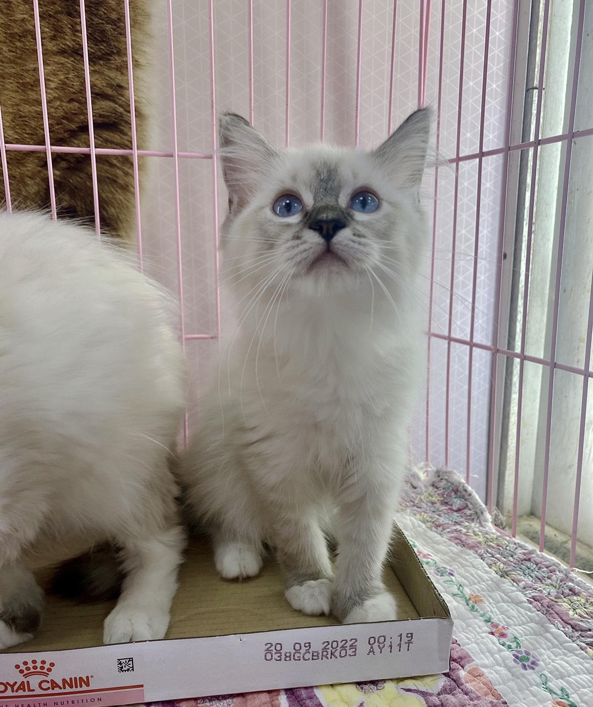 旻利寵物坊/山貓手套🐱布偶貓妹妹