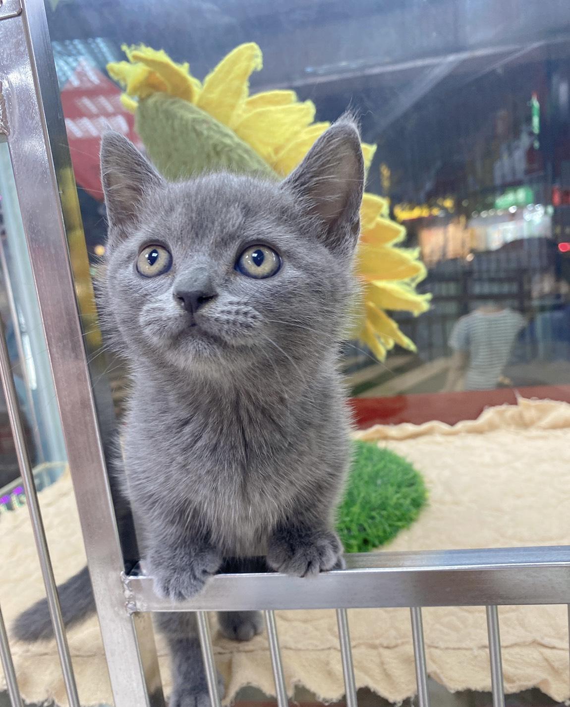 旻利寵物坊/藍色曼赤肯貓🐱弟弟