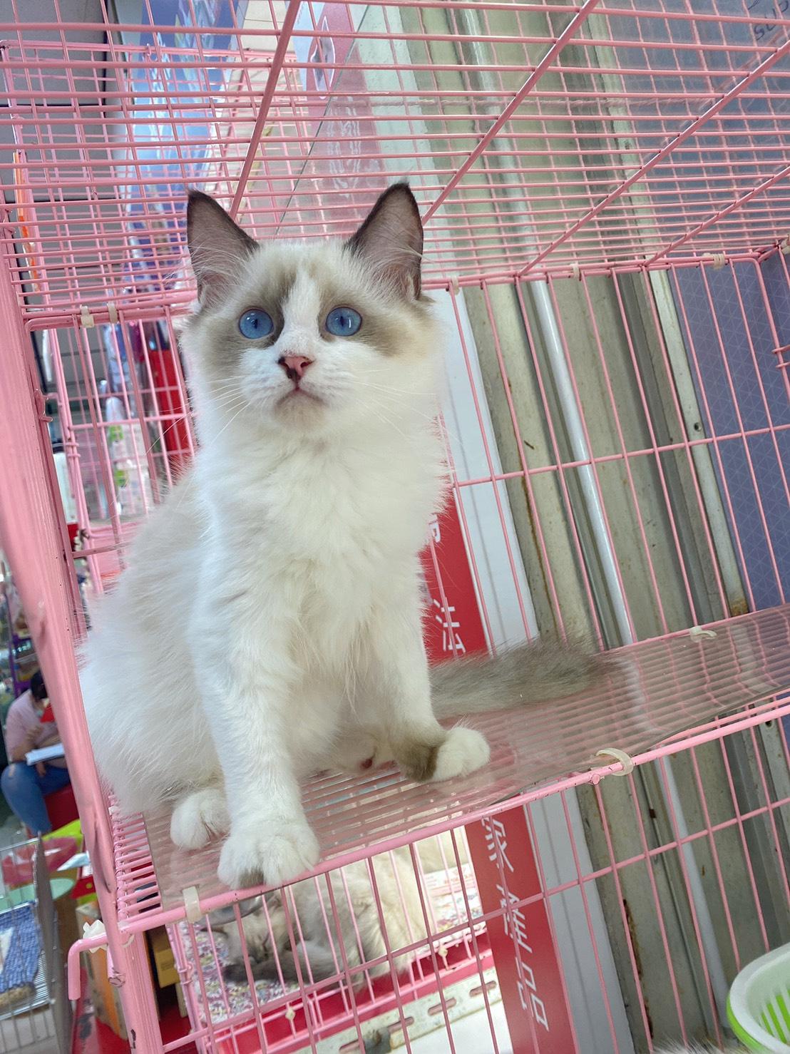 旻利寵物坊/海豹雙色🐱布偶貓妹妹