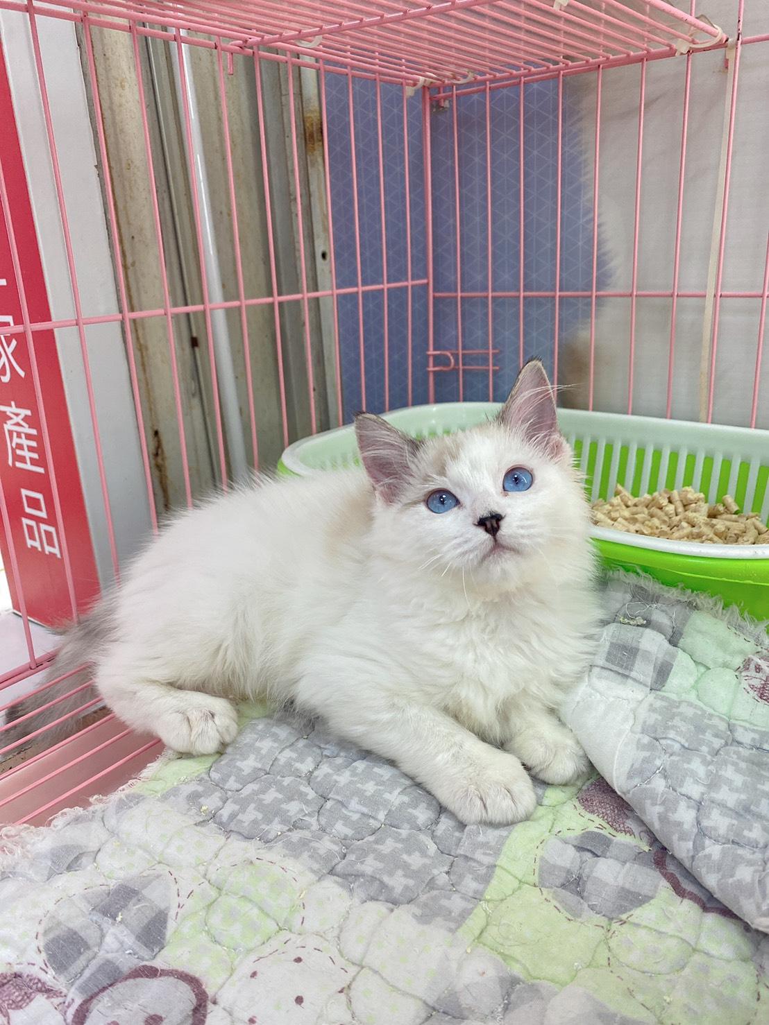 旻利寵物坊/山貓雙色🐱布偶貓妹妹