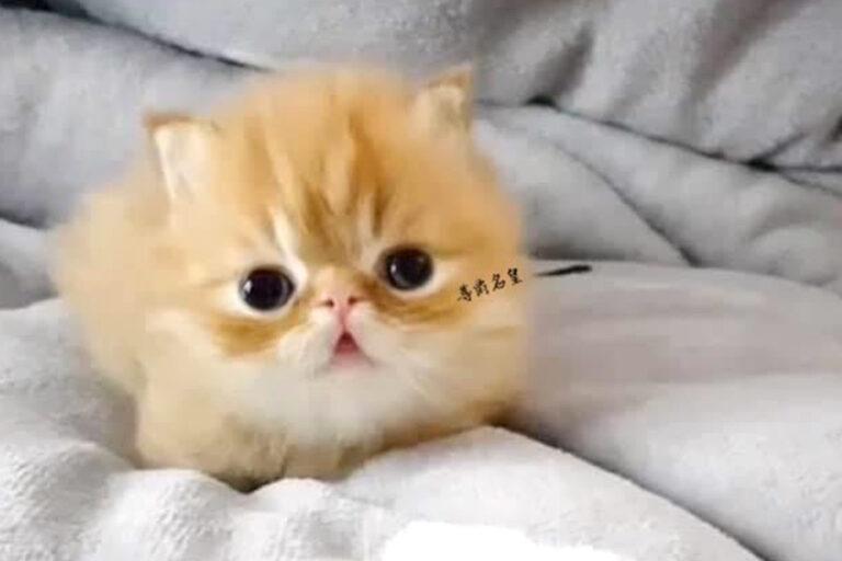 嚴選合法寵物店-尊爵名皇國際專業犬貓舍