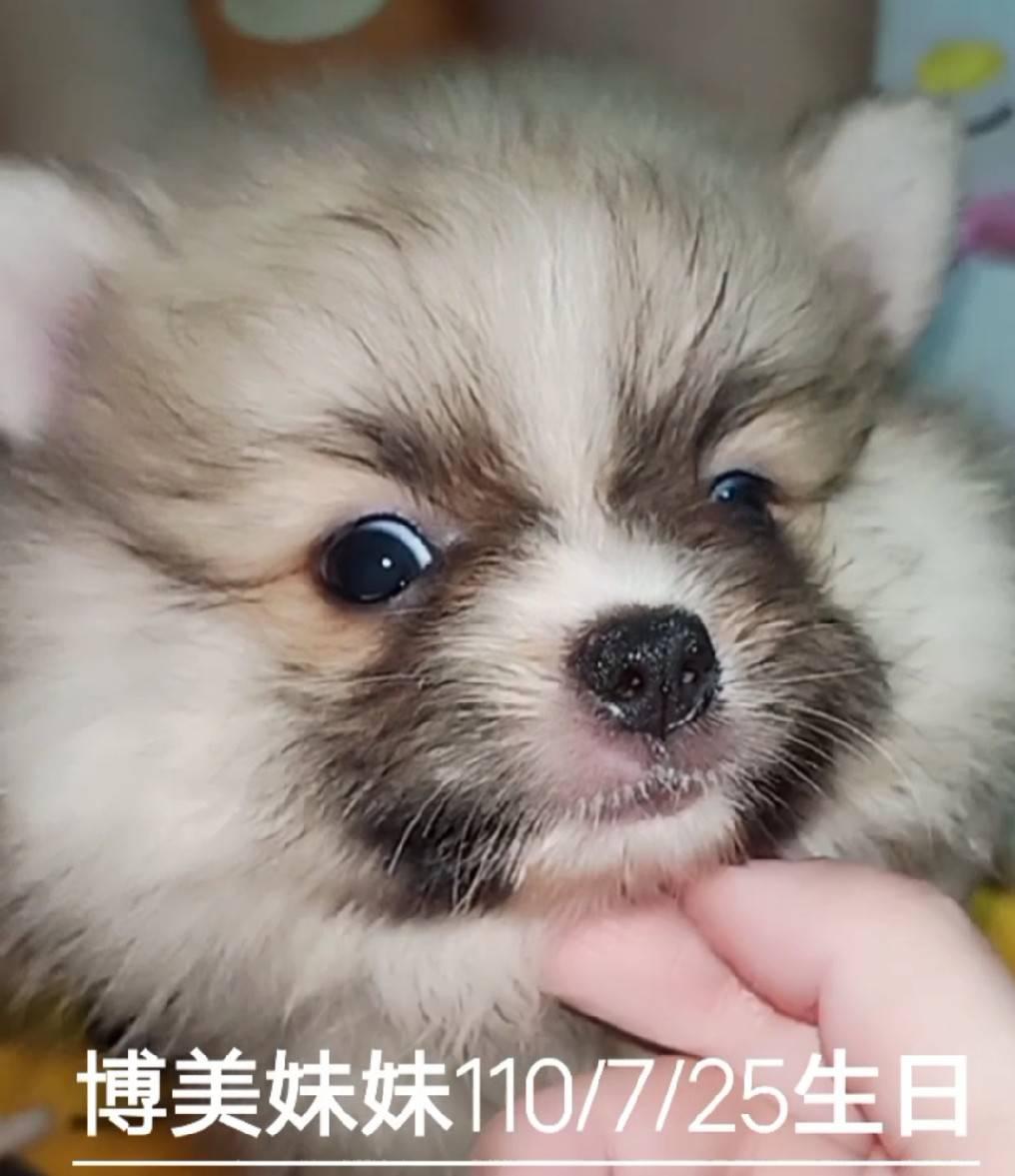 旺旺谷犬舍/博美妹妹