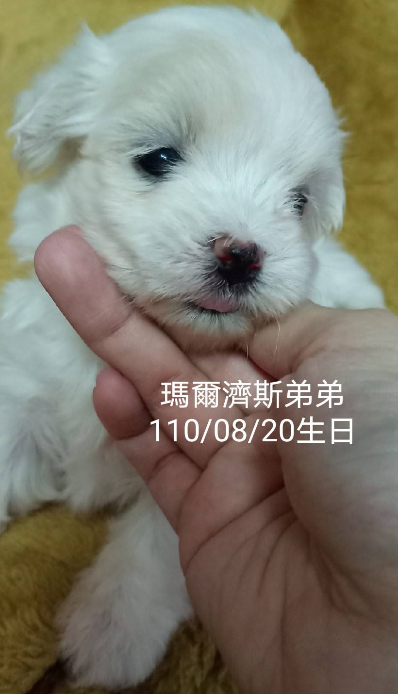 旺旺谷犬舍/瑪爾濟斯弟弟