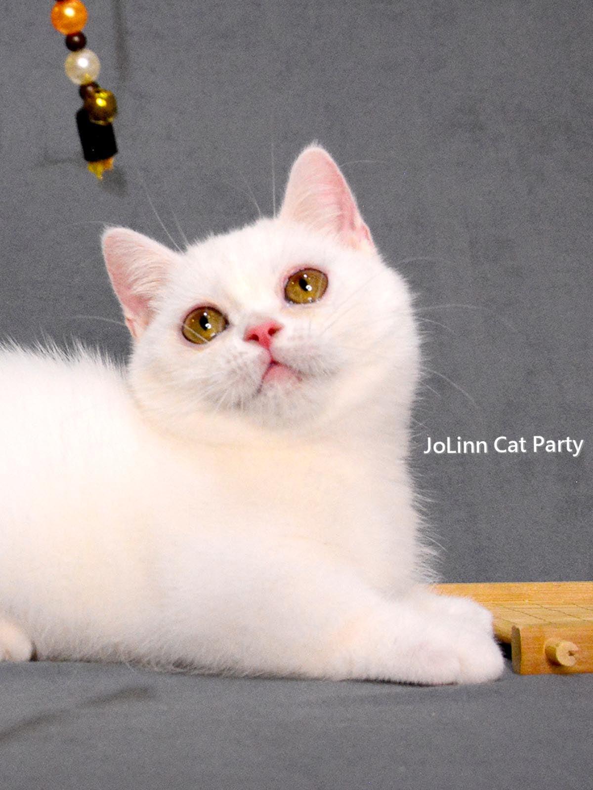 貓咪派對/白色 曼赤肯短腿貓
