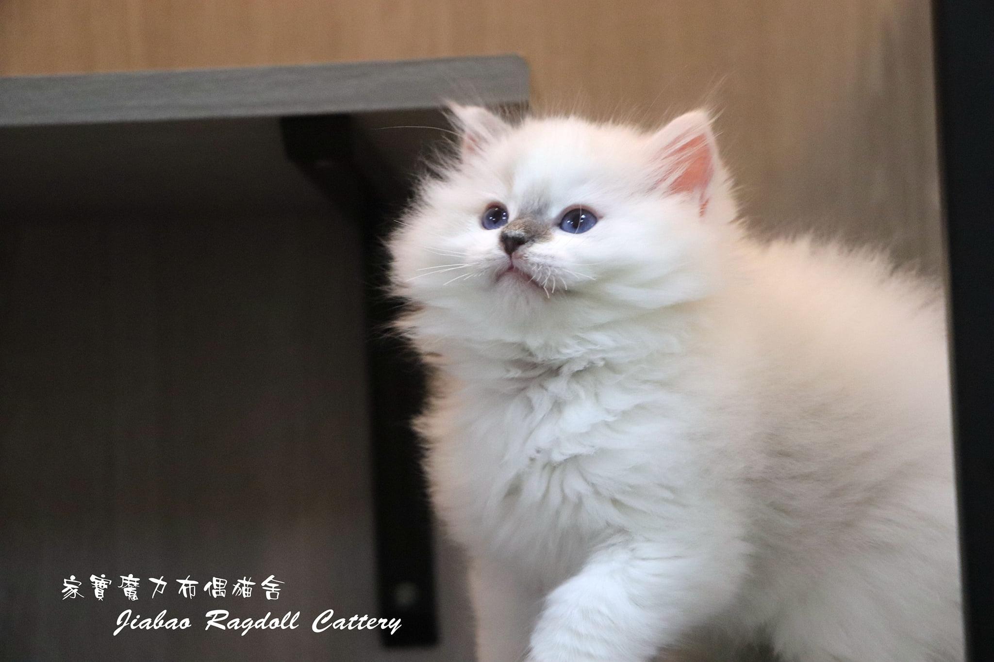 家寶寵物/藍雙布偶 妙鼻貼男生