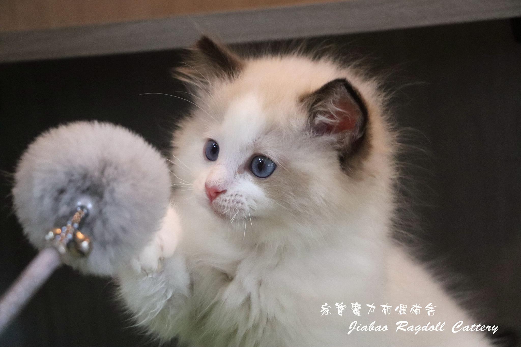 家寶寵物/海豹雙色布偶貓 男生