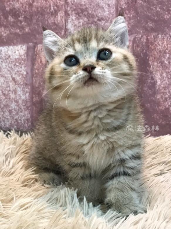 魔法森林/棕碎斑漸層色曼赤肯短腿貓