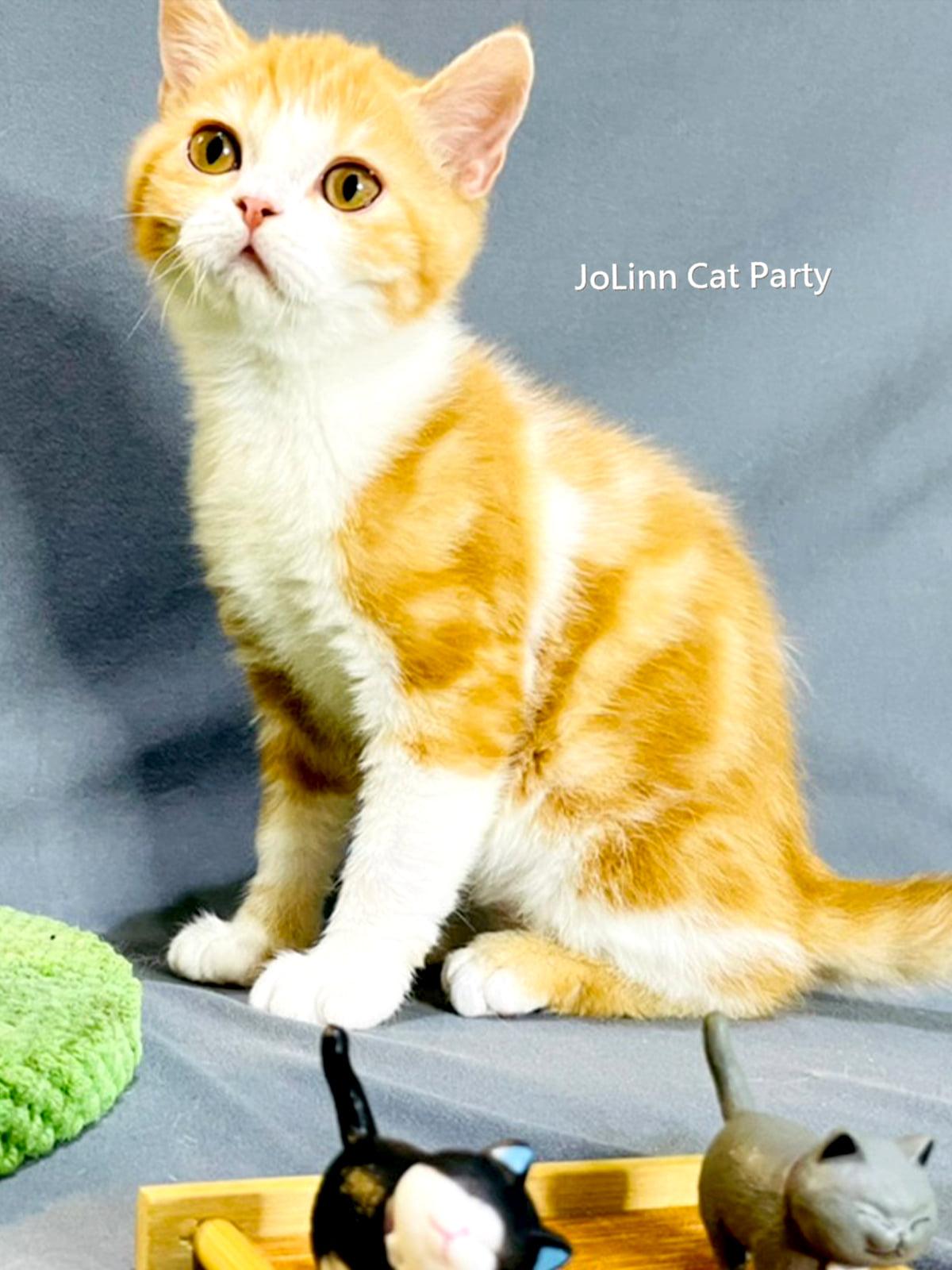 貓咪派對/加白橘子螺紋 美國短毛貓