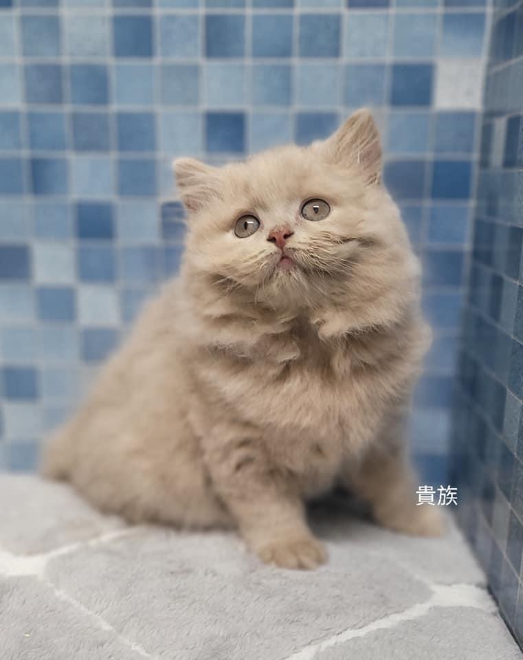 貴族寵物坊/紫丁香英長女孩