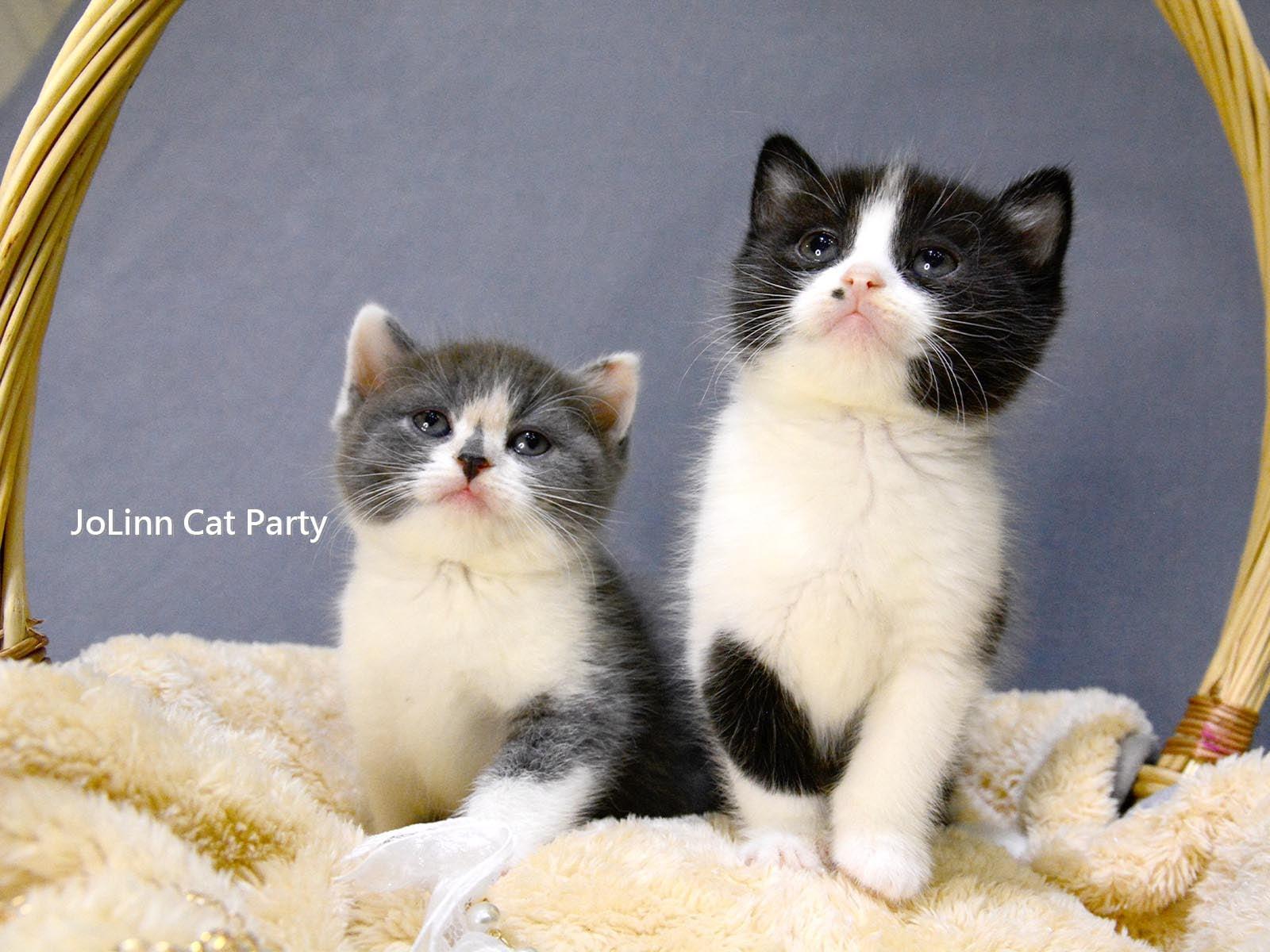 貓咪派對/藍三花 黑白賓士 英國短毛貓