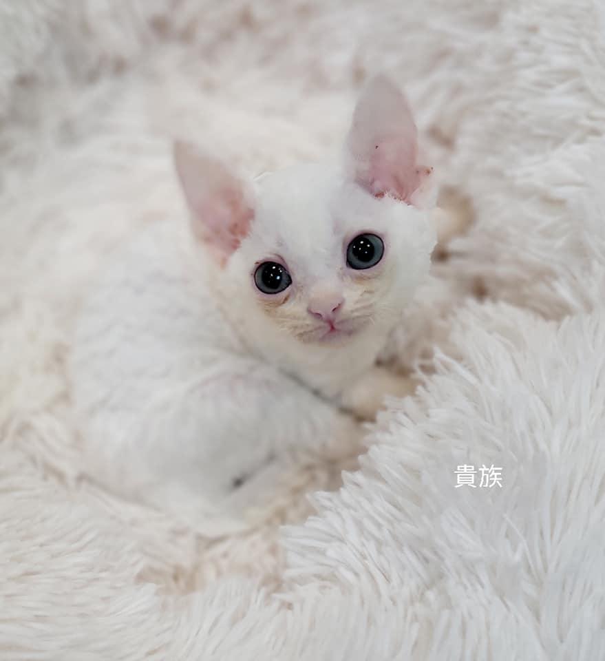 貴族寵物坊/德文 雷克斯捲毛精靈貓女孩