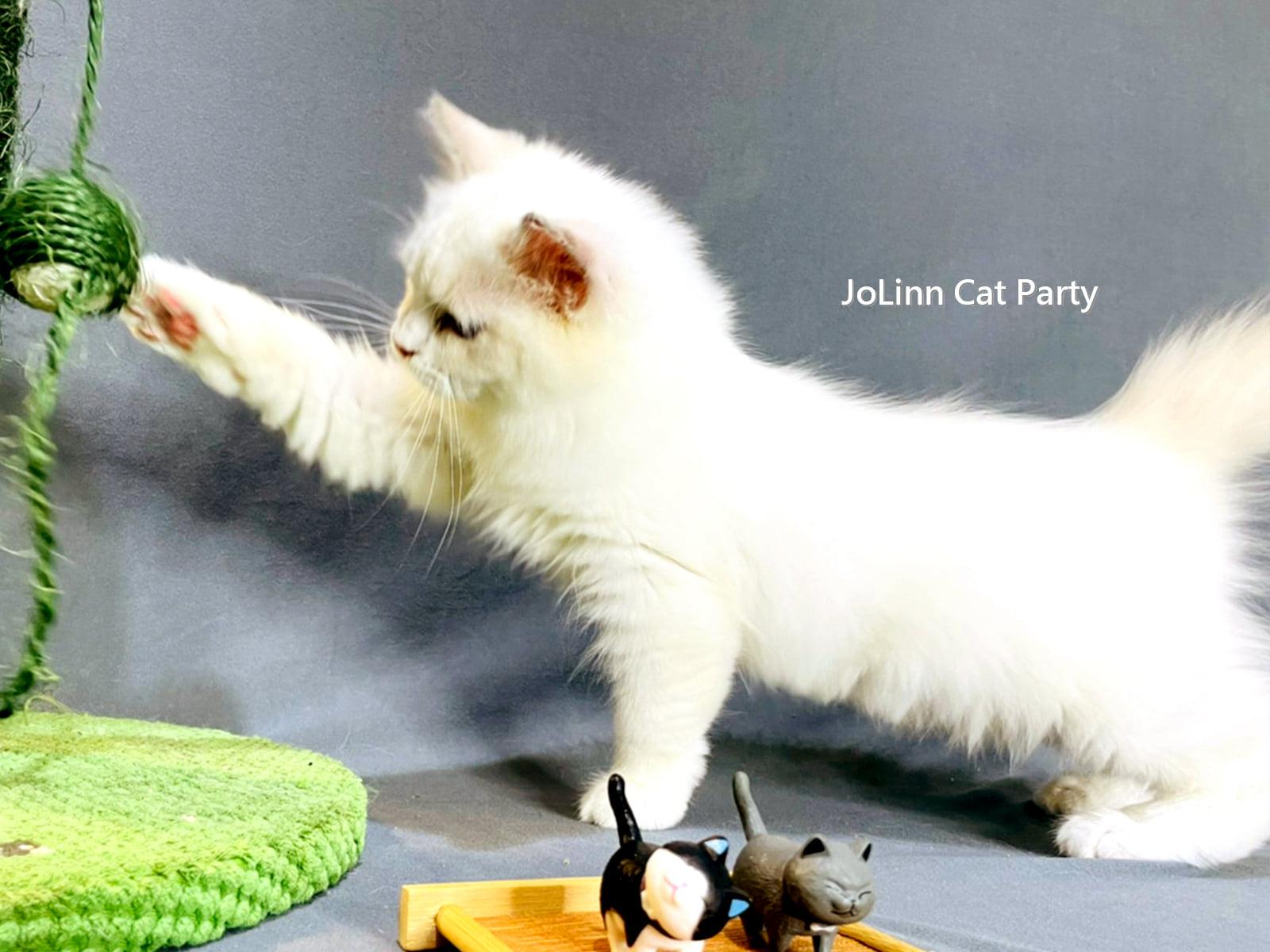 貓咪派對/海豹雙色布偶貓