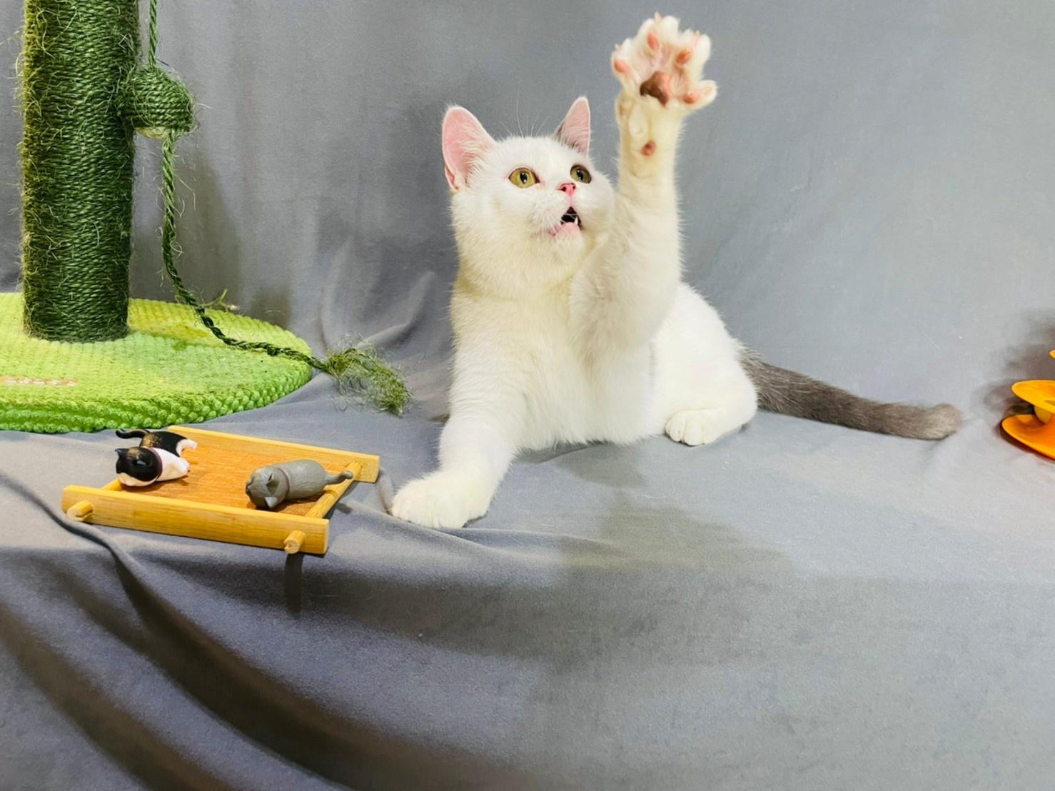 貓咪派對/藍白色英國短毛貓