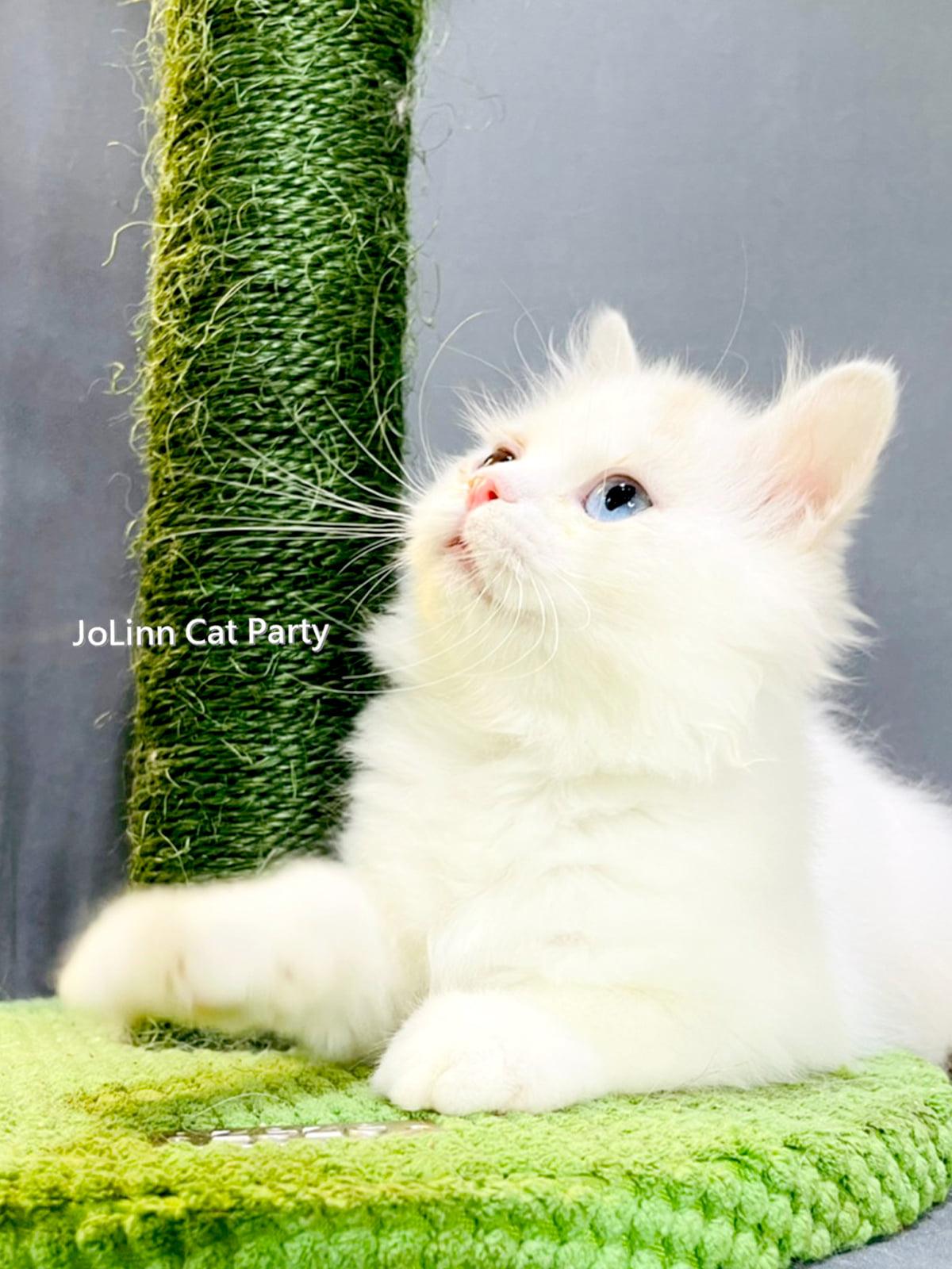 貓咪派對/異瞳橘奶油白 英國長毛貓