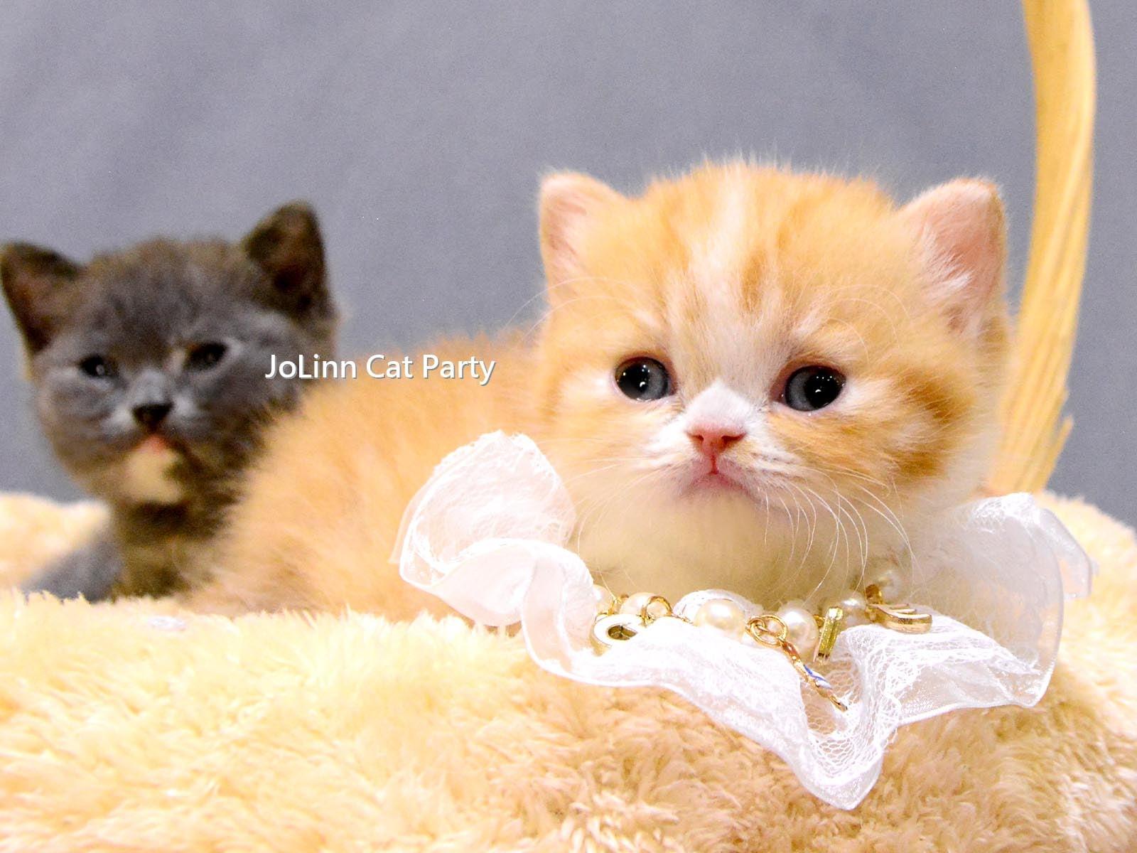 貓咪派對/超短腿 橘白賓士 藍奶油 曼赤肯貓
