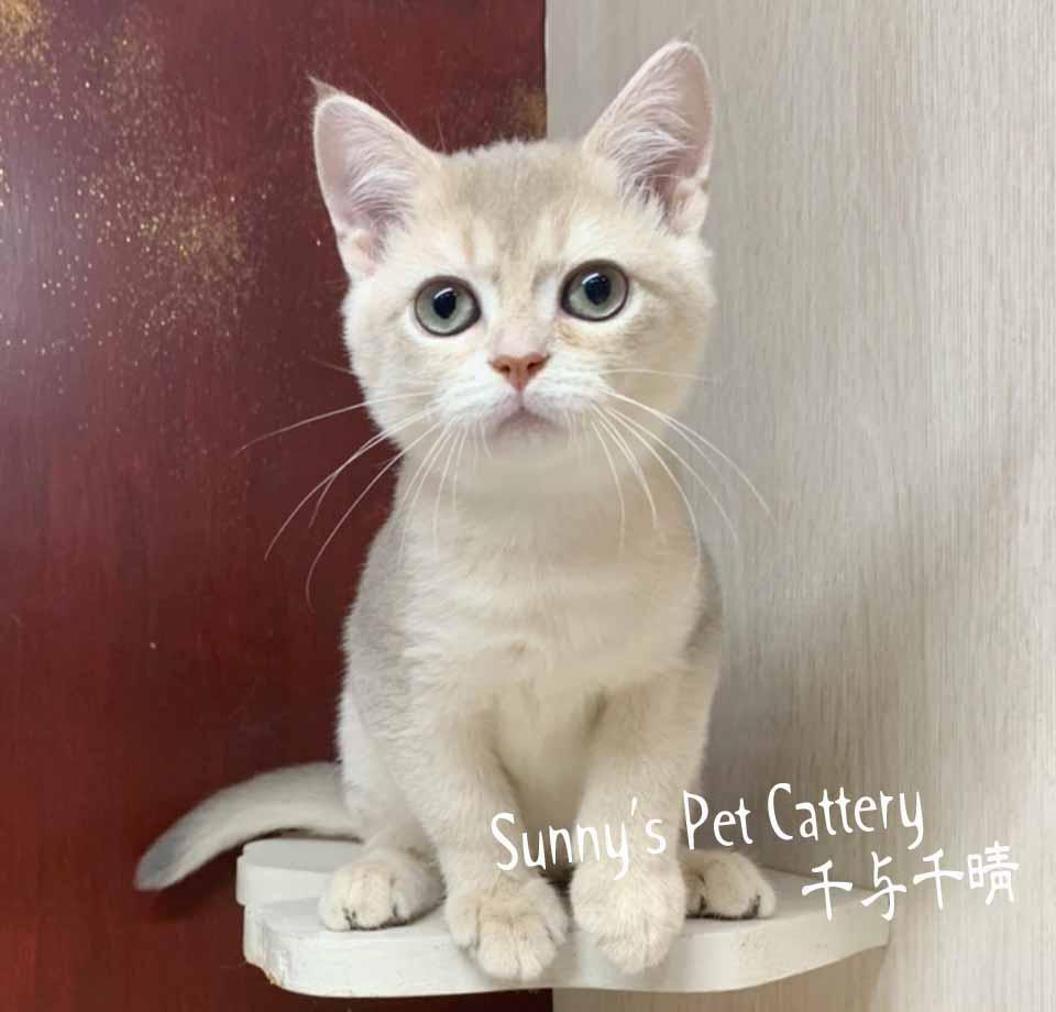 千晴寵物坊/淡藍金AY11 特殊色英國短毛貓