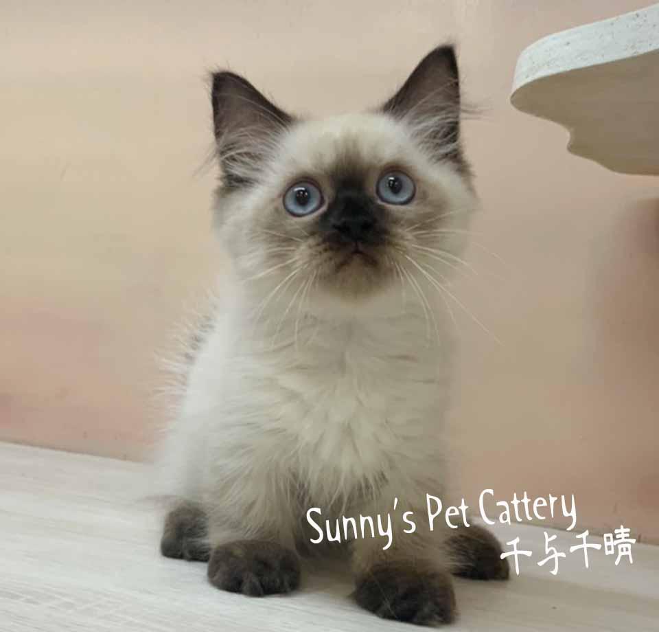千晴寵物坊/海豹重點色 小步舞曲短腿貓
