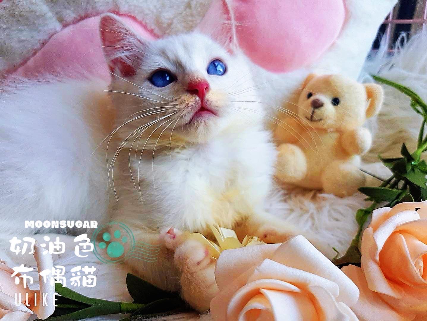 月亮糖糖喵樂園/奶油色布偶貓弟弟