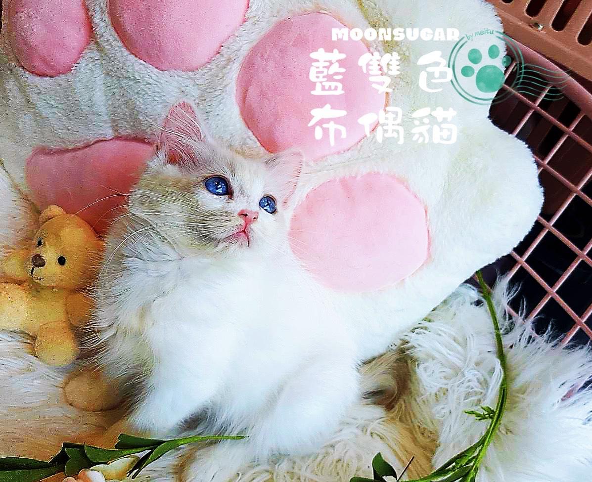 月亮糖糖喵樂園/藍雙色布偶貓弟弟